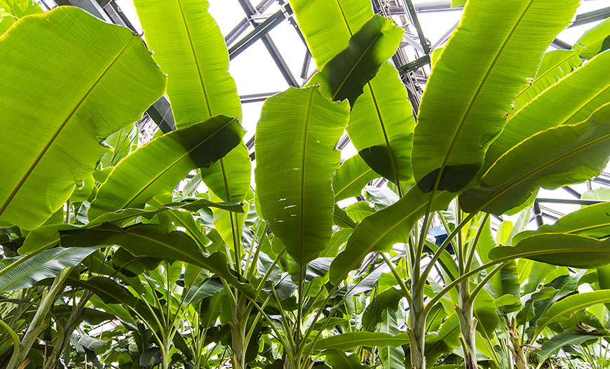 Banana Production Greenhouses